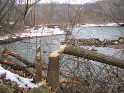 A tree felled by beaver along the Cuyahoga River in Cuyahoga Valley 