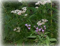 Blue Vervain and Boneset with a moth feeding on the boneset.