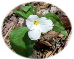 white flowered trillium in the forest along Boston Run, a tributary to the Cuyahoga River in Cuyahoga Valley National Park in summit County Ohio (northeast Ohio)