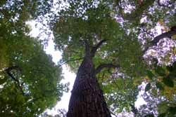 A large Sassafras tree in the floodplain of the Vermilion River along Bacon Woods Trail